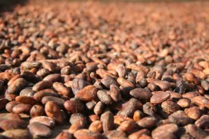 coca beans