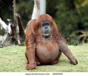 pregnant-red-ape