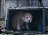 budweiser puppy